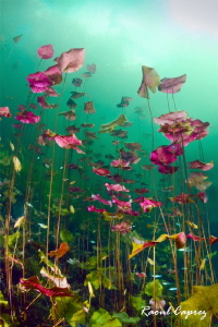 Water lily bunch by Raoul Caprez