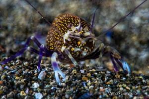 Mediterranean Bumblebee shrimp by Marco Gargiulo