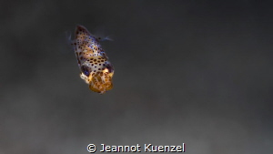 This baby Bobtail Squid came quite close, investigating t... by Jeannot Kuenzel