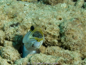 Jawfish with eggs at Front Porch, Bonaire by J. Daniel Horovatin