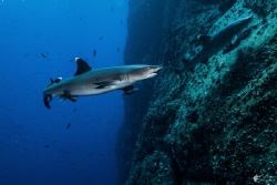 Whitetip Reef Sharks at Roca Partida, taken with Sony RX-... by Eric Addicott