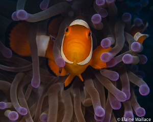 Clown fish face off by Elaine Wallace
