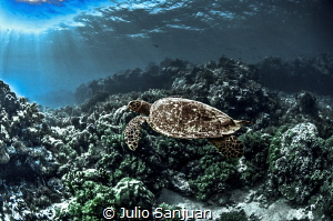 Turtle in Palau. by Julio Sanjuan