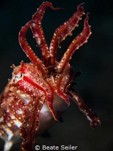 Very small cuttlefish by Beate Seiler