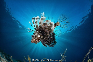 Sunblocker - Curious Lionfish in the Red Sea. by Christian Schlamann