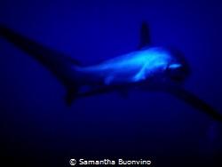 Tête à tête with a friendly thresher shark by Samantha Buonvino