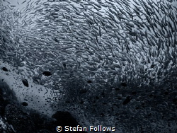 The Storm. Smoothtailed Trevally - Selaroides leptolepis.... by Stefan Follows
