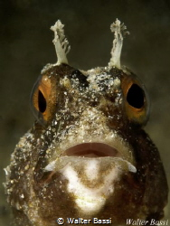 Blenny portrait by Walter Bassi