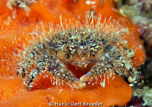 """""""Hairy"""" crab Tomini Bay,North-Sulawesi Nikon D 800, Mic... by Hans-Gert Broeder"""