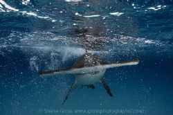 The bubbles are actually caused by the approaching sharks... by Shane Gross