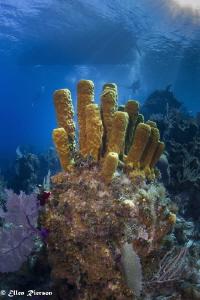 Bloody Bay Wall / Little Cayman - Canon T2i/Nauticam/Sea&... by Ellen Rierson