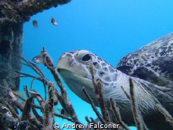 I found this turtle resting on a fishing basket, and came... by Andrew Falconer