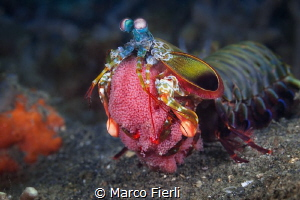 Peacock Mantis Shrimp with Eggs by Marco Fierli