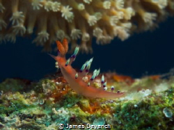 Flabelina on the house reef by James Deverich