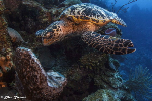 Hungry Turtle on Bloody Bay Wall - Canon T2i/Nauticam/Tok... by Ellen Rierson