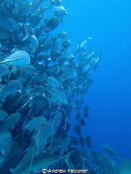 At barracuda point on Sipadan there is an enormous school... by Andrew Falconer