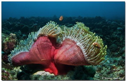 - symphony in red -  magnificent sea anemone (Heteractis... by Reinhard Arndt