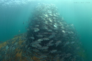 Swarm of Jackfish surprisingly at El Capitan wreck Subic Bay by Jun V Lao