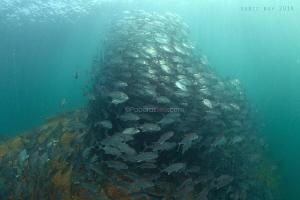 Swarm of Jackfish surprisingly at El Capitan wreck Subic Bay by Jun V Lao