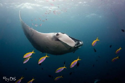 Manta Ray Manta Ray Taken at Hin Daeng Thailand. Camera: ... by Daniel Sasse