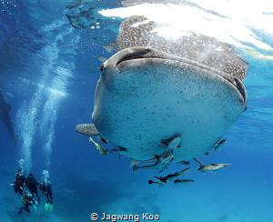 whale shark and divers by Jagwang Koo