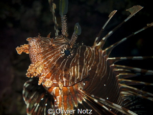 The lionfish found his face mirrored in the plan port  qu... by Olivier Notz