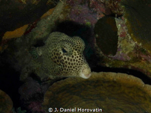 Sharpnose Puffer by J. Daniel Horovatin