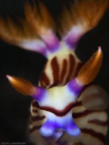 Nembrotha lineolata, Nelson Bay by Doug Anderson