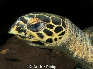Hawksbill turtle portrait by Andre Philip