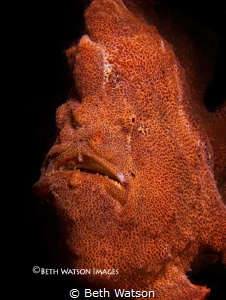 Giant Frogfish (Antennarius commerson)...Puerto Galera, P... by Beth Watson