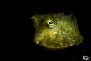 Juvenile cowfish :-D by Daniel Strub
