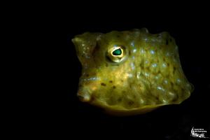 Juvenile cowfish :-D by Daniel Strub