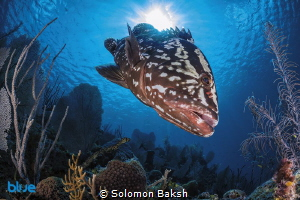 Nassau Grouper at Marilyn's Cut, Little Cayman by Solomon Baksh
