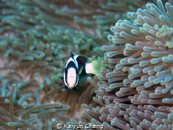 The small clown fish with his soft and comfortable sofa. ... by Kaiyun Cheng