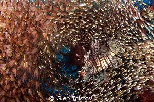 Lion fish in a school of glass fish by Gleb Tolstov