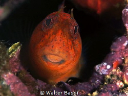 Red blenny by Walter Bassi