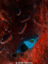 Cleaner shrimp next to bubbles by James Deverich