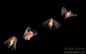 Composite photo of the winged stomach sea slug (Gastropte... by Tom Radio