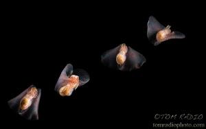Composite photo of the winged stomach sea slug (Gastropte... by Tom Radio