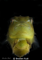 Baby lumpfish by Brocken Rudi