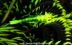 Dazzling yellow crinoid shrimp by Samantha Buonvino