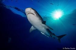 Tiger shark at Tiger Beach Bahamas, Canon 1DC in Nauticam... by Markus Davids