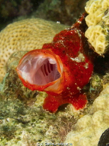 I think this red frogfish was telling the photographer to... by J. Daniel Horovatin