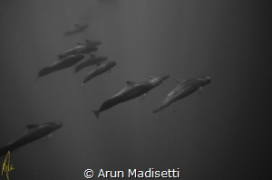 Pod of Pilot Whales, the jet fighters of the marine mamma... by Arun Madisetti