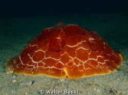 Pleurobranchus by Walter Bassi