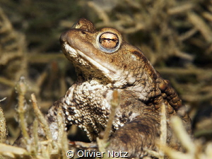 Toad in the Lake of Lucerne Every year in April, toads a... by Olivier Notz