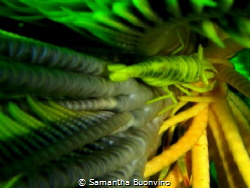 yellow vertigo...hidden crinoid shrimp by Samantha Buonvino