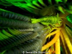 yellow vertigo...hidden crinoid shrimp by Samantha Buonvino