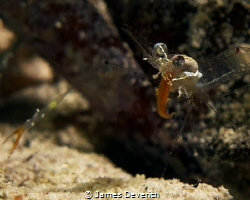 This shrimp reminds me a little of Alice cooper :P by James Deverich