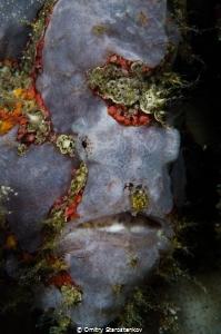 Chimerical frogfish by Dmitry Starostenkov